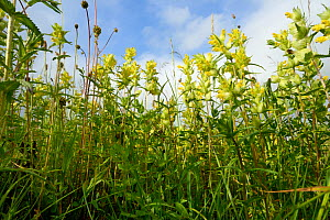 Low angle view of a dense stand of Yellow rattle (Rhinanthus minor) flowering in a chalk grassland meadow, Wiltshire, UK, June. - Nick Upton