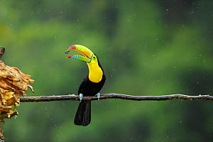 Keel billed toucan (Ramphastos sulfuratus) feeding on insect, Costa Rica.  -  Bence  Mate