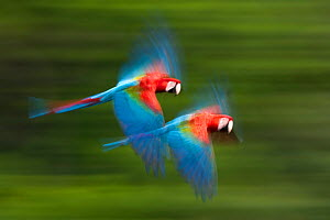 Red and green macaws (Ara chloropterus) in flight, motion blurred photograph, Buraxo das aras, Brazil. - Bence  Mate