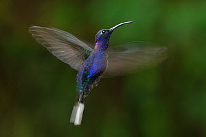 Violet sabrewing (Campylopterus hemileucurus) in flight at feeding station, Monte Verde Cloud Forest, Costa Rica. - Bence  Mate
