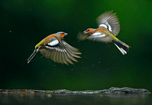 Common chaffinchs (Fringilla coelebs) fighting, Puszaszer, Hungary, May.  -  Bence  Mate