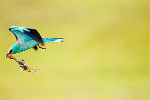 European Roller (Coracias garrulus) carrying dead chick prey, Pusztaszer, Hungary, May.  -  Bence  Mate