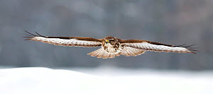 Common buzzard (Buteo buteo) in flight over snow, Pusztaszer, Hungary, January. - Bence  Mate