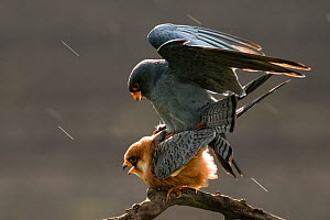 Red footed falcons (Falco vespertinus) mating in the rain, Hungary, May. - Bence  Mate