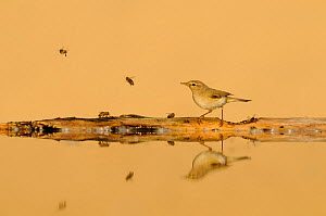 Common chiffchaff (Phylloscopus collybita) in front of sand dune with bees, reflected in water, Pusztaszer, hungary, May.  -  Bence  Mate