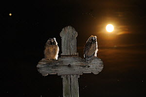 Long eared owl (Asio otus) chicks perched on a cross, with the moon, in the background, Puszatszer, Hungary, June.  -  Bence  Mate
