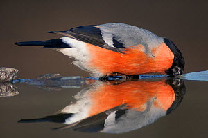 Eurasian bullfinch (Pyrrhula pyrrhula) drinking, reflected in water, Pusztaszer, Hungary, February. - Bence  Mate