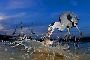 Grey heron (Ardea cinerea) catching fish, taken with remote camera, Pusztaszer, Hungary, June.  -  Bence  Mate