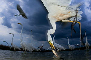 Great egret (Ardea alba) feeding on fish, Pusztaszer, Hungary, June.  -  Bence  Mate