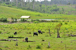Domestic water buffalo (Bubalus bubalis) introduced species grazing in area deforested of primary rainforest, French Guiana. - Daniel  Heuclin