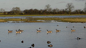 A group of Canada geese (Branta canadensis) swimming on flooded pasture past Pochard (Aythya ferina) and Tufted duck (Aythya fuligula), with Lapwings (Vanellus vanellus) resting and Greylag geese (Ans...  -  Nick Upton