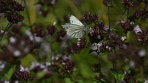 Green veined white (Pieris napi) butterfly nectaring  on Wild marjoram flowers (Origanum vulgare), before being chased off by a Common blue (Polyommatus icarus), Wiltshire, UK, August. - Nick Upton