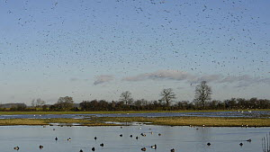 Large flock of Lapwings (Vanellus vanellus) descending to land on partly flooded pasture, with Pochard (Aythya ferina) and Tufted duck (Aythya fuligula) swimming in the foreground, Gloucestershire, En...  -  Nick Upton
