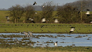 Slow motion shot of a flock of Lapwings (Vanellus vanellus) in flight near two foraging Common cranes (Grus grus) 'Monty' and 'Chris' reintroduced by the Great Crane Project, with White fronted geese...  -  Nick Upton