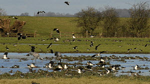 Slow motion view of Lapwings (Vanellus vanellus) landing on a partly flooded pastureland near a pair of foraging Common cranes (Grus grus) 'Monty' and 'Chris', reintroduced by the Great Crane Project,...  -  Nick Upton