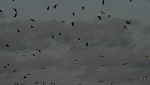Panning shot of a flock of Lapwings (Vanellus vanellus) landing on partially flooded pastureland near resting Black-tailed godwits (Limosa limosa) and grazing Wigeon (Anas penelope), Gloucestershire,... - Nick Upton