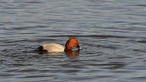 Pochard (Aythya ferina) drake surfacing and diving whilst feeding on weed in a shallow marshland pool, slow motion clip, Gloucestershire, England, UK, February.  -  Nick Upton