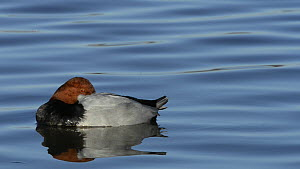 Close up of a Pochard (Aythya ferina) drake resting on the surface of a lake with one eye open, slow motion clip, Gloucestershire, England, UK, February.  -  Nick Upton