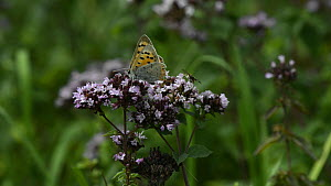 Small copper butterfly (Lycaena phlaeas), Mint moth (Pyrausta aurata) and Hoverfly (Eristalis nemorum / interruptus)  nectaring on Wild marjoram flowers (Origanum vulgare), Wiltshire, England, UK, Aug... - Nick Upton