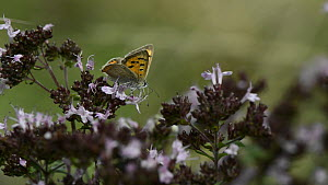 Small copper butterfly (Lycaena phlaeas) nectaring on Wild marjoram flowers (Origanum vulgare) before taking off, Wiltshire, England, UK, August. - Nick Upton