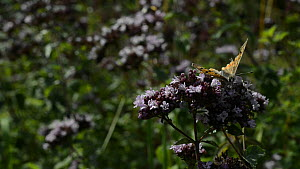 Small copper butterfly (Lycaena phlaeas) landing to nectar on Wild marjoram flowers (Origanum vulgare), with Red-tailed bumblebees (Bombus lapidaries) foraging in the background, Wiltshire, England, U...  -  Nick Upton