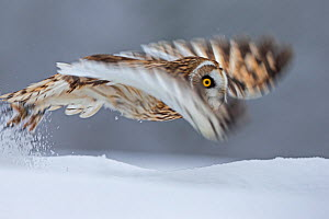 Short Eared Owl (Asio flammeus) taking off, blurred motion photograph, UK, January. Captive - Andy  Rouse