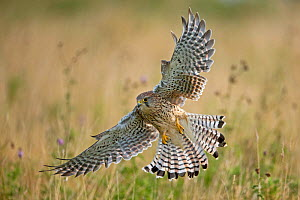 RF- Kestrel (Falco tinninculus) swooping whilst hunting, UK (This image may be licensed either as rights managed or royalty free.)  -  Andy  Rouse