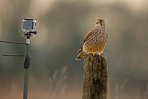 Common Kestrel (Falco tinninculus) looking at Go Pro Hero3 remote camera, UK, April. - Andy  Rouse