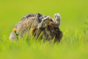 European Hare (Lepus europaeus) cleaning ears, UK - Andy  Rouse