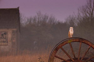 Barn Owl (Tyto alba) on old wheel in early morning, UK, March.  -  Andy  Rouse