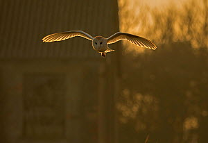 Barn Owl (Tyto alba) hunting amongst old buildings, UK, March.  -  Andy  Rouse