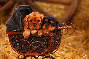 Cavalier King Charles Spaniel puppies aged 7 weeks (ruby and black-and-tan colouration) in pram.  -  Petra Wegner