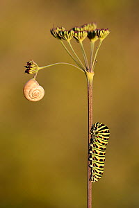 Common Swallowtail (Papilio machaon) caterpillar and snail on umbellifer seedhead, Ottange Moselle, France. September. - Michel  Poinsignon