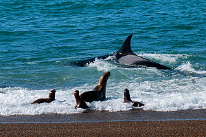 RF- Orca (Orcinus orca) hunting sea lion pups. Punta Norte Provincial Reserve, Peninsula Valdez, Chubut, Patagonia Argentina. (This image may be licensed either as rights managed or royalty free.)  -  Gabriel Rojo