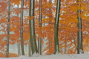European beech (Fagus sylvatica) trees with last leaves in autumn and first snow on the ground. Serrahn, Muritz-National Park, World Natural Heritage site, Germany, November.  -  Sandra Bartocha