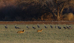 Greater Sandhill Cranes (Grus canadensis tabida) slowly move away from Coyotes (Canis latrans), Bosque del Apache, New Mexico, USA, December. - Charlie  Summers