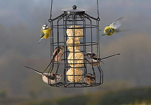 Long tailed tits (Aegitalos caudatus) and Blue tits (Cyanistes caeruleus) on bird feeder, Sussex, England, UK, March. - Stephen  Dalton