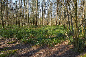 Neglected woodland after many years of Fallow deer (Dama dama) damage resulting in a monoculture of Pendulous Sedge (Carex pendula), Sussex, England, UK, April.  -  Stephen  Dalton