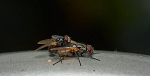 Mating House flies (Musca domesticus) on kitchen tap surrounded by vomit spots, Sussex, England, UK, August. - Stephen  Dalton
