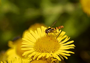 Hoverfly (Syrphus vitripennis) on flower, Sussex, England, UK, August. - Stephen  Dalton