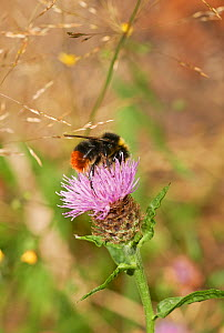 Red tailed bumblebee (Bombus lapidarius) on knapweed, Sussex, England, UK, August.  -  Stephen  Dalton
