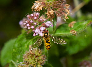 Marmalade hoverfly (Syrphus balteatus) male. Sussex, England, UK, September. - Stephen  Dalton