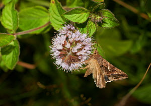 Silver Y Moth (Plusia gamma) feeding on nectar from water mint, Sussex, England, UK, August. - Stephen  Dalton