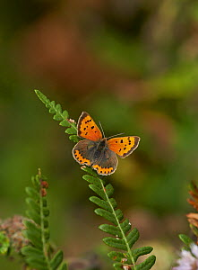 Small copper butterfly (Lycaena phlaeas) Sussex, England, UK, October.  -  Stephen  Dalton