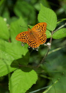 Silver-washed fritillary butterfly (Argynnis paphia) feeding on Bramble flower. Sussex, England, UK, July. - Stephen  Dalton