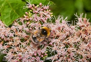 White-tailed bumblebee (Bombus lucorum) covered with pollen. Sussex, England, UK, August.  -  Stephen  Dalton