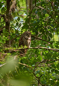 Barred owl (Strix varia) Florida, USA, February. - Stephen  Dalton