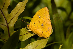Barred sulphur butterfly (Phoebis philea) Florida, USA, February. - Stephen  Dalton