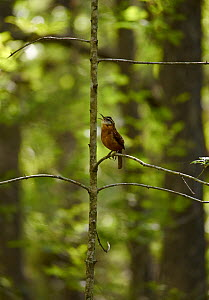 Carolina wren (Thryothorus ludovicianus) singing, Florida, USA, February.  -  Stephen  Dalton
