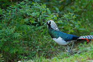 Lady Amherst's Pheasant (Chrysolophus amherstiae) male, south west China, May.  -  XI ZHINONG